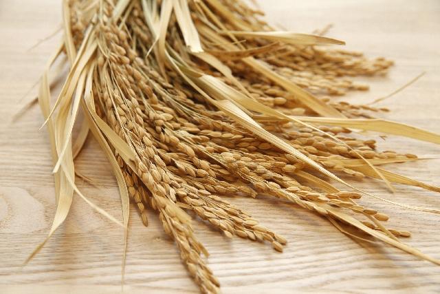 バケツ稲の栽培をしてみよう!土を混ぜる割合と稲作りの流れ