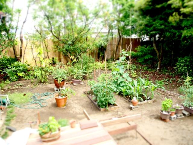 家庭菜園できゅうりを栽培。苗が枯れる原因はどこにあるのか