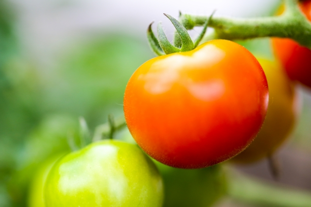 トマト苗の発芽後、徒長してしまう原因は?予防する方法とは