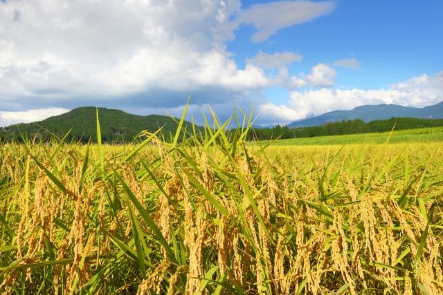 一反分のお米の収穫量はどのくらい?消費が減った理由とは?