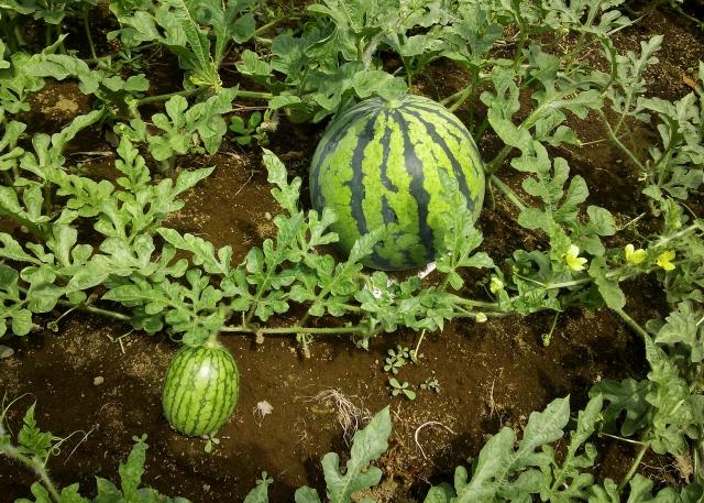 家庭菜園で作ったスイカの収穫時期の見分け方を知ろう
