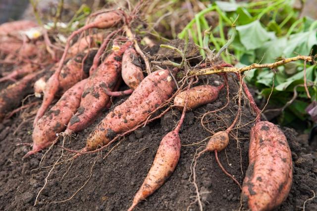 サツマイモを栽培するときのポイントはつるにあった