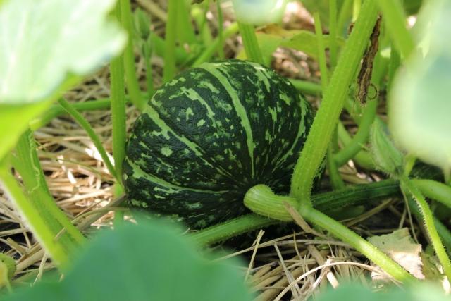 かぼちゃの収穫期間はどのくらい?かぼちゃを育てる方法は?