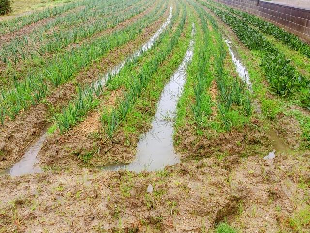 畑に撒いた石灰は雨で流れてしまうのか。撒き直しは必要?