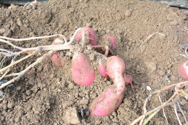 家庭菜園でサツマイモを育てよう!収穫後の保存で甘さが増す
