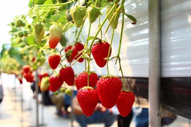 簡単にイチゴの栽培!収穫後のランナーから新しい苗を作る!