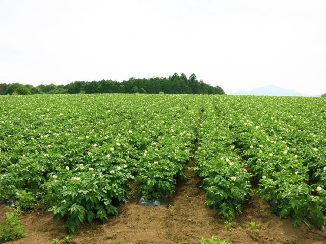ジャガイモの植え付け方法解説します!連作しても大丈夫!?
