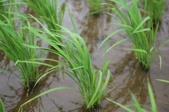 自由研究にも最適!家庭の玄米を発芽させて苗から米作り